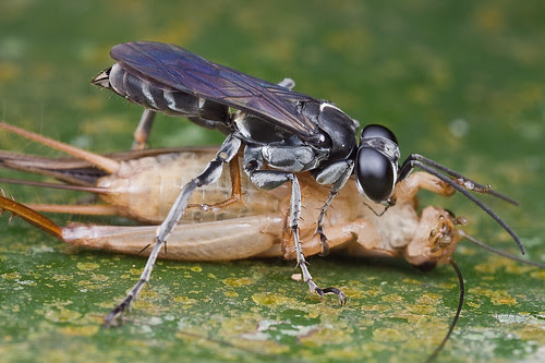 IMG_6764 copy wasp with cricket prey