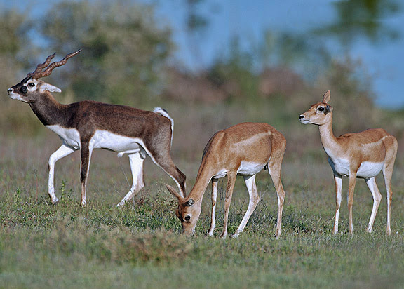 The endangered Black buck - Wildlife in India