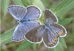 male and female Karner Blue butterflies