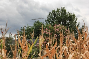 brown cornfields and crepe myrtles (640x427)