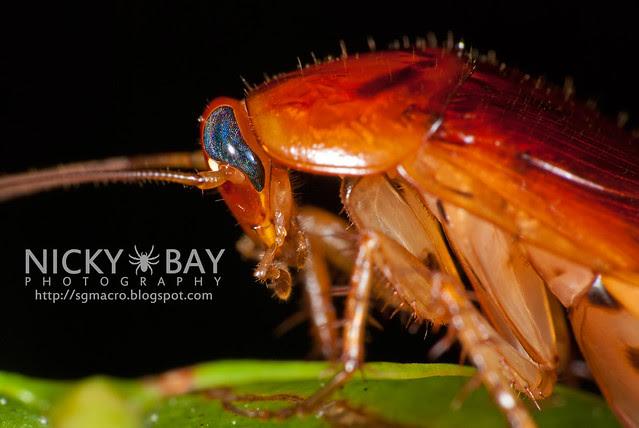 Cockroach (Blattodea) - DSC_0383