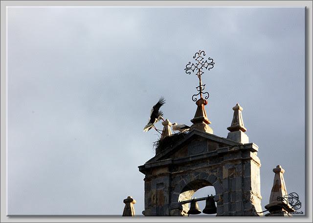5 Cigüeña faenando con el nido
