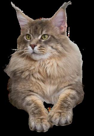 Maine Coon Cat For Sale California Best Cat Wallpaper