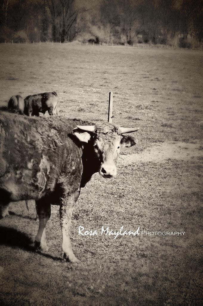 Cow 1 7 bis
