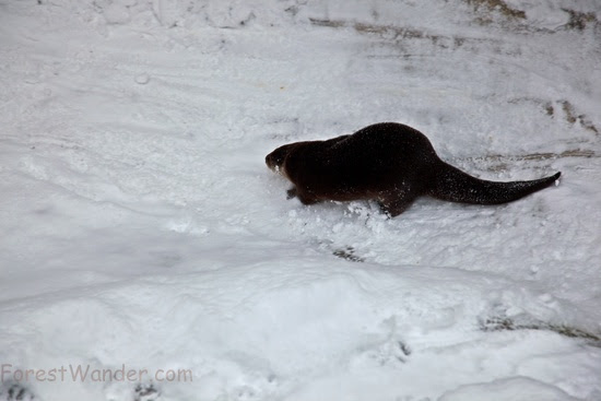 Otter Playing Snow Sliding