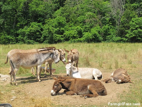 (31-20) The donkeys like to nap in the blazing sun - FarmgirlFare.com