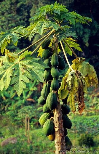 papaya plant 2