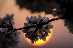 2012 03 17 - 5236 - Washington DC - Cherry Blossoms