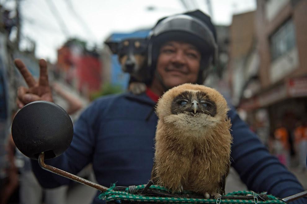 Хозяин ездит на мотоцикле со своей совой и собакой, Бразилия