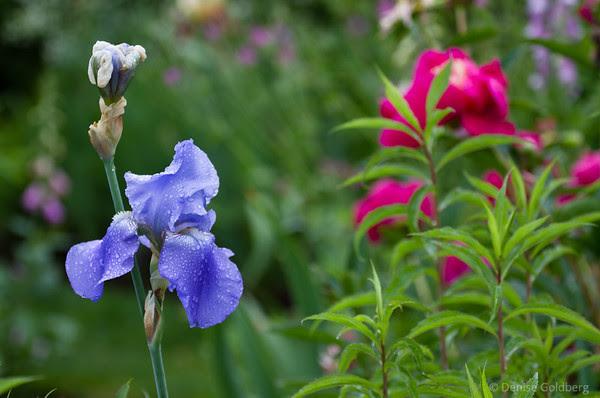 flowers, violet iris