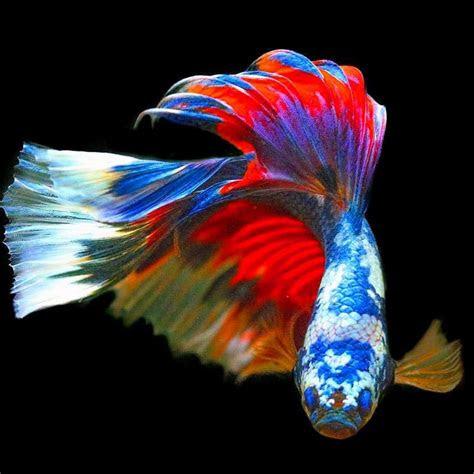 gambar ikan wallpaper terbaik infobaru