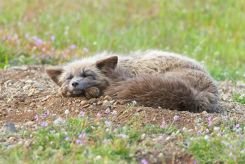Red Fox Kit Sleeping, San Juan Island, Washington