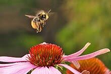 A bumblebee landing on a purple flower