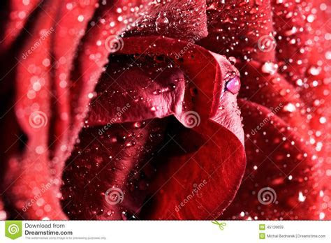 Red Wet Rose Flower Close up. Greeting Card Or Background