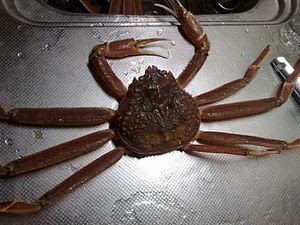 English: A specimens of snow crab (Chionoecete...