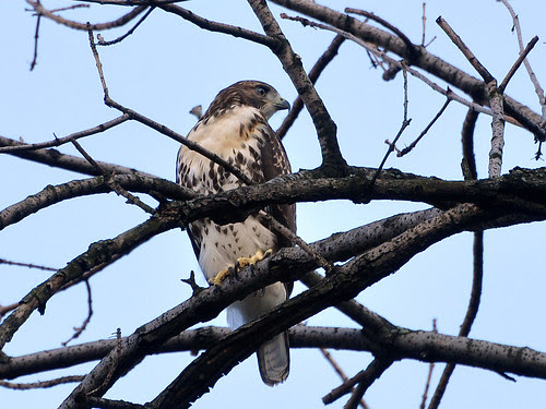 Morningside RT Fledgling