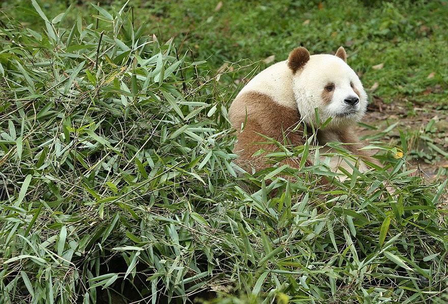 abandonou-brown-panda-qizai-1