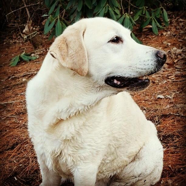 Like he's made of sheepskin #dog #yellow #labrador #nacho
