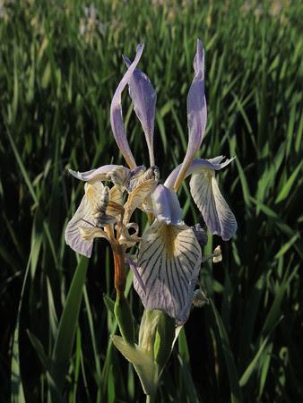 more iris