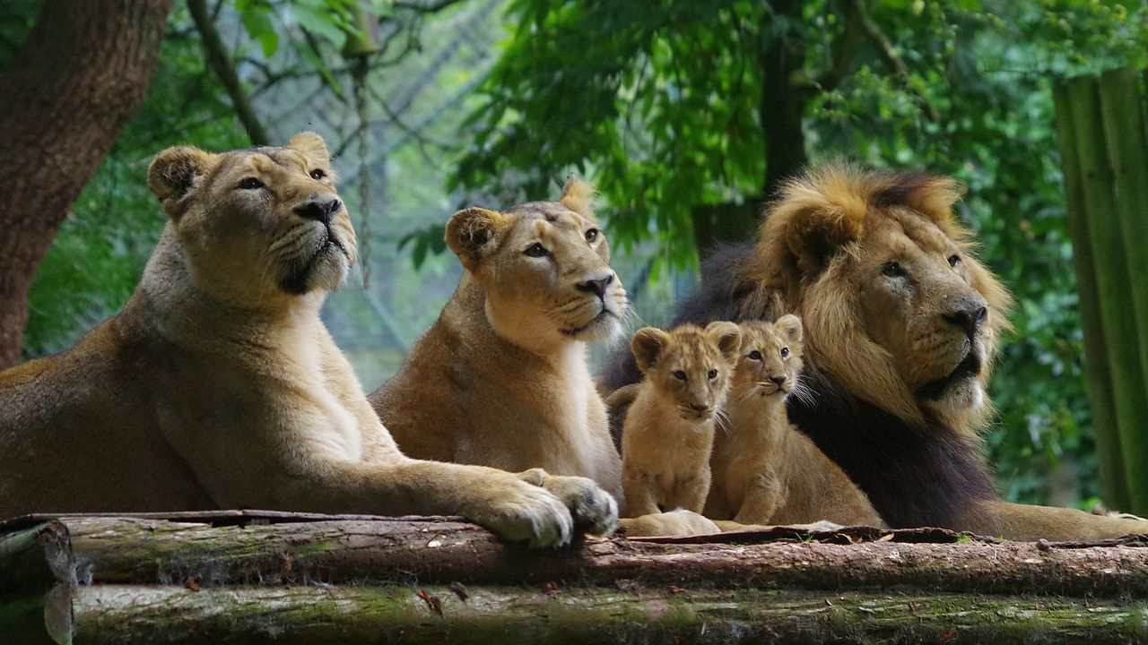 New method of monitoring lions, that are superior to the current ones being used, have helped advance monitoring and conservation of lions in Gir. Image credit: Wikipedia