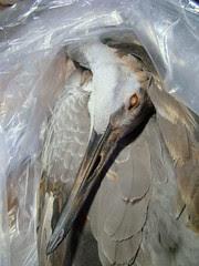 Juv sandhill crane in bag