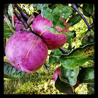 #crabapples #newhampshire #fall #apple #trees in the backyard