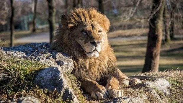 ¿Cuántos tipos de leones existen?