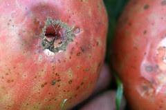 tomato fungi 001