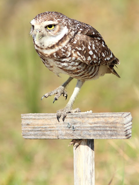 Burrowing Owl 4-20130311