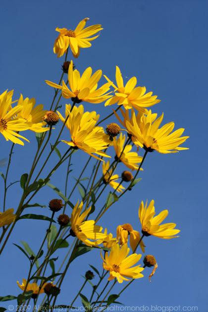 Helianthus tuberosus - fiore del topinambur