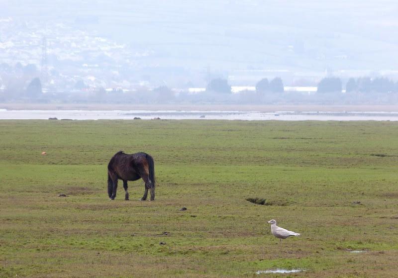 P1040062 - Glaucous Gull, Wernffrwd
