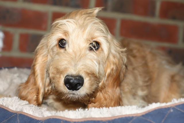 Dandy – 6 month old male Cockapoo