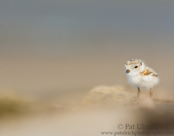 Shallow depth-of-field photograph of a young piping plover