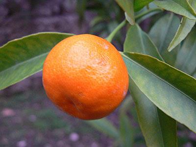 clementine sur l'arbre.jpg