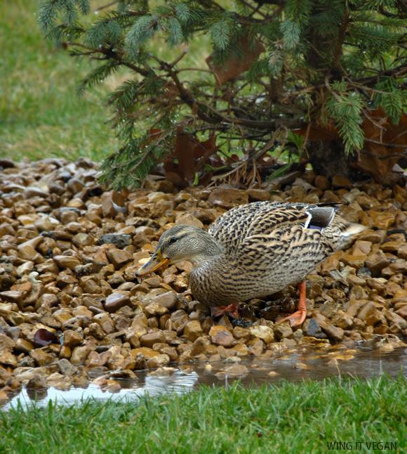 Rainy Duck