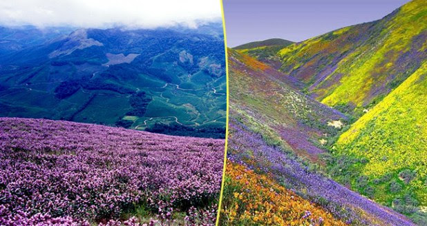 Neelakurinji Blooms In Munnar Once Again Post Kerala's Heavy Rains