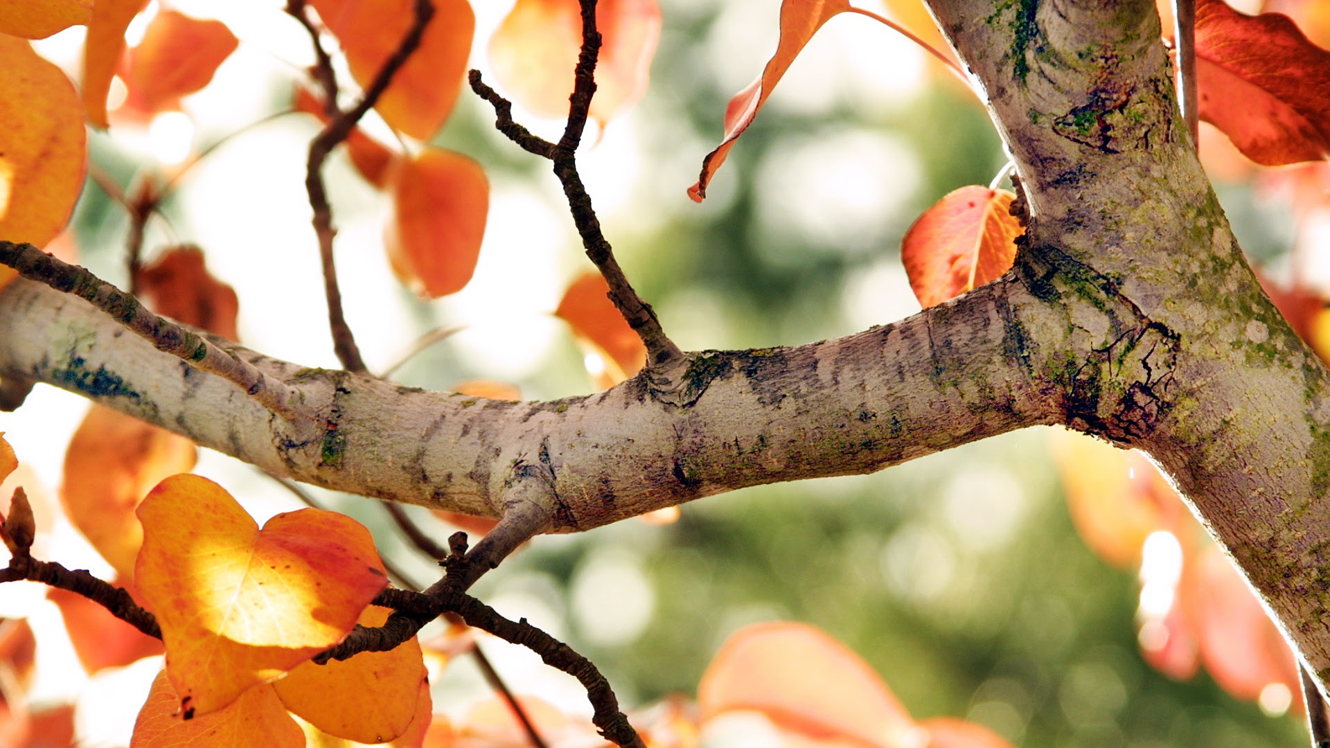Fall Tree Wallpapers In Jpg Format For Free Download