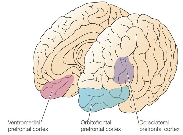 HumanAntiGravitySuit: MORE ABOUT DORSOLATERAL PREFRONTAL CORTEX