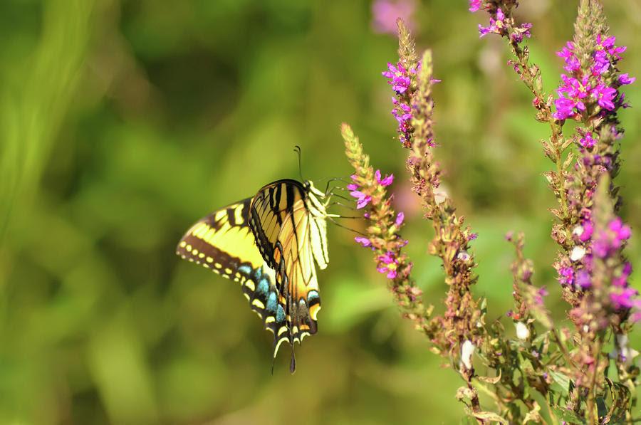 Resultado de imagem para delicate butterfly