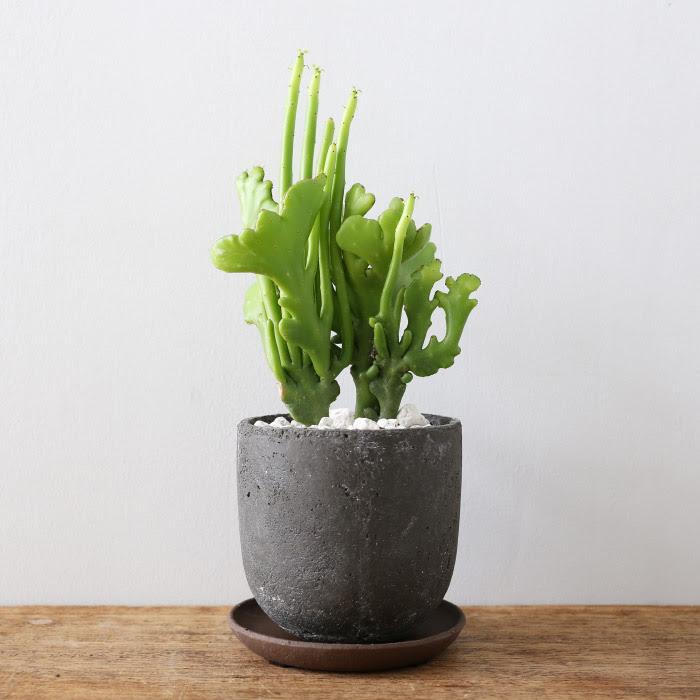 ユーフォルビア オンコクラーダ / Euphorbia oncoclada