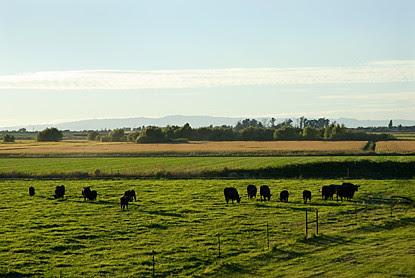 CattleLandscapeBlog