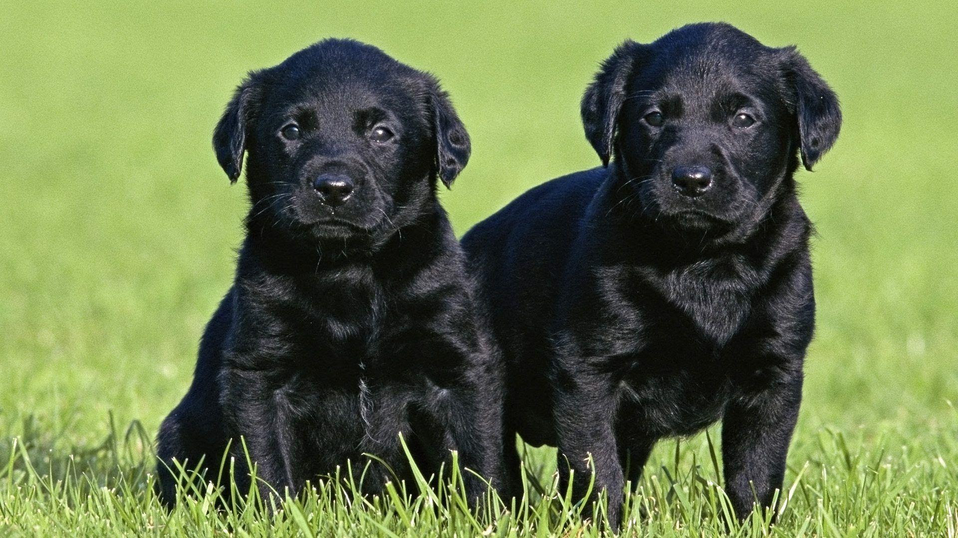 Black Lab Puppies for sale in Vermont USA
