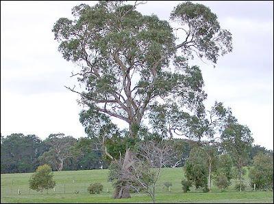 Eucalyptus leucoxylon subsp. bellarinensis