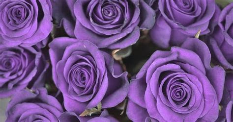 Purple Rose Flower Meaning and Symbolism