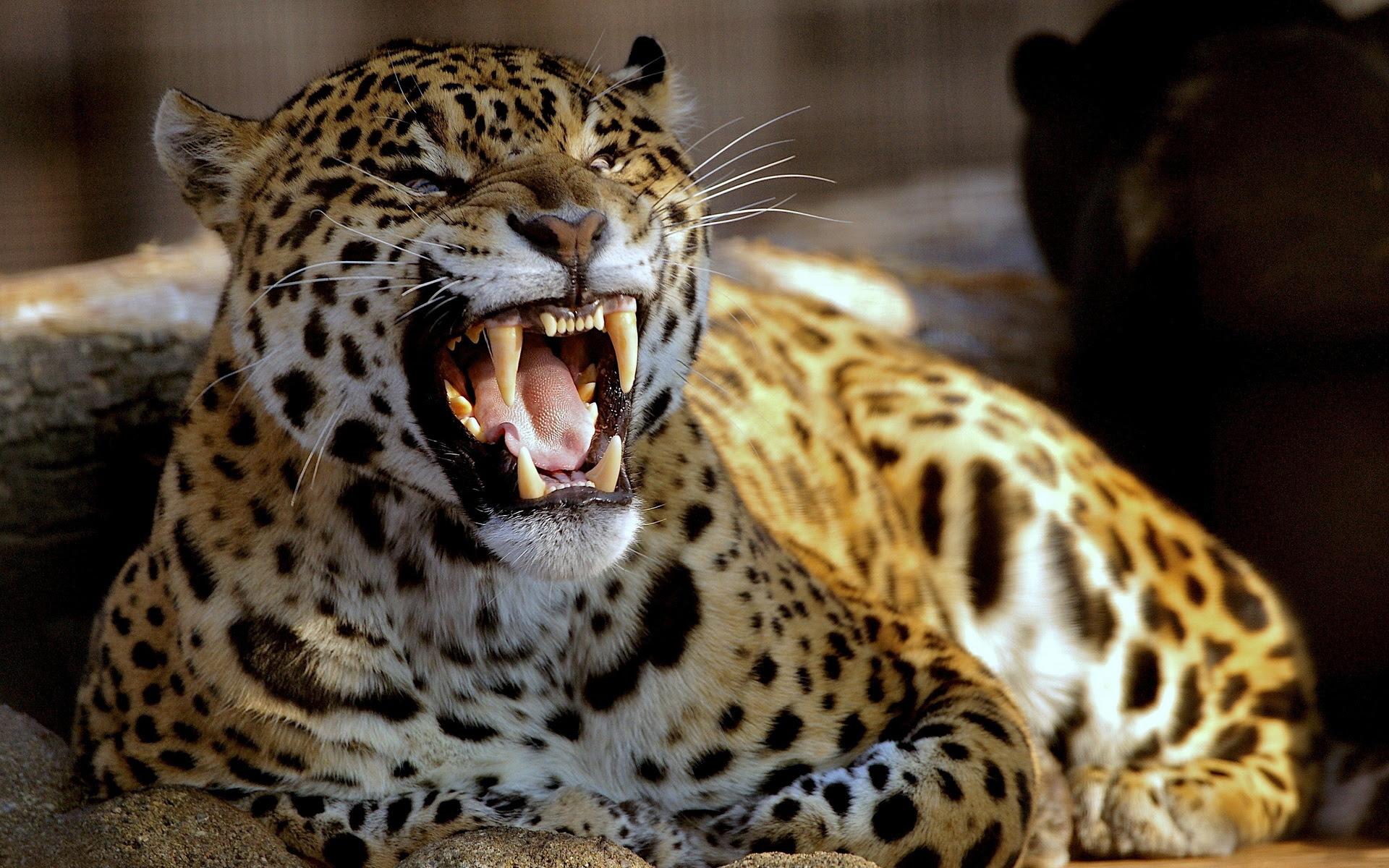 Leopard Backgrounds | PixelsTalk.Net