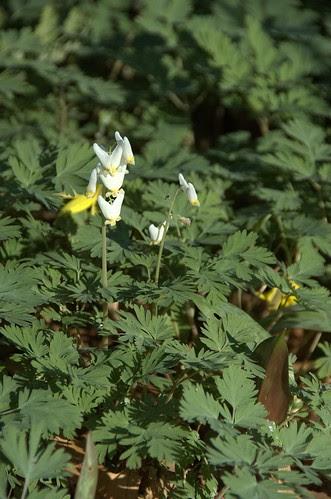 Dicentra cucullaria, Dutchman's Breeches, Native Flora Garden, BBG
