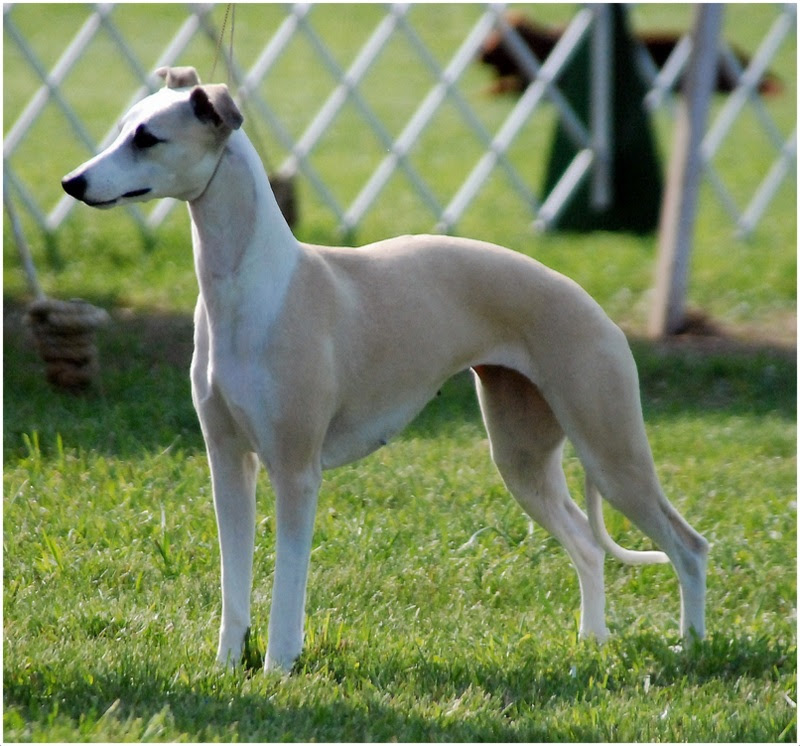 Whippet Puppies Breeders For Sale In Virginia