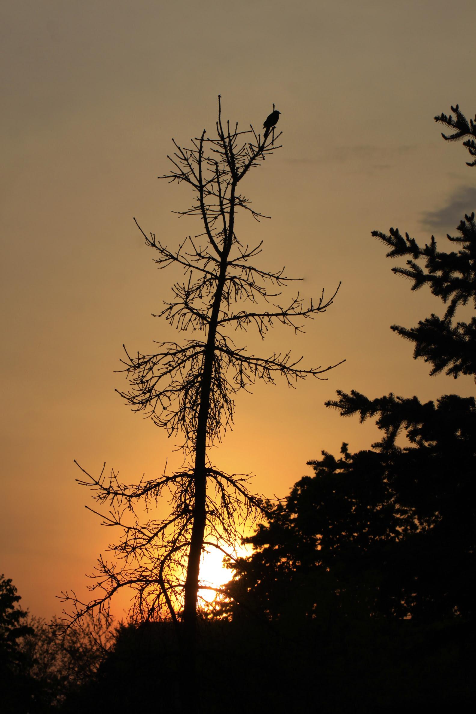 RWBB singing at sunset