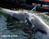 Stop Greenland Killing Whales to Feed Tourists