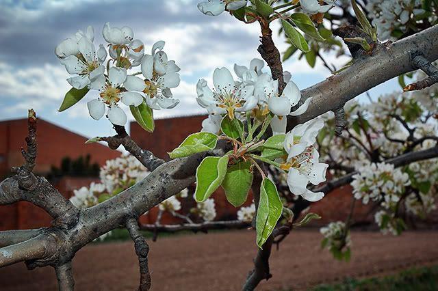 Pear Tree Flowers [enlarge]
